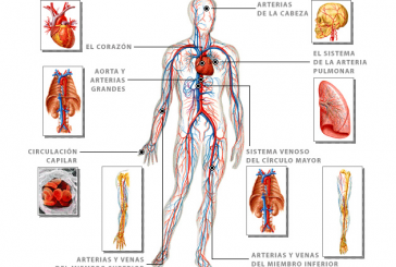Webs para conocer el sistema circulatorio