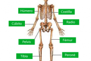 Recursos para conocer los huesos del esqueleto humano
