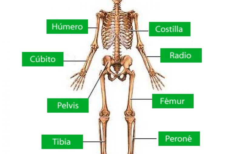 Recursos para conocer los huesos del esqueleto humano | Eniac