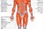 Recursos para conocer los músculos del cuerpo humano